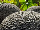 image of muskmelon  - conceptual image of muskmelon in the vegetable garden