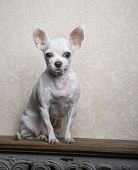 A Small White-breed Chihuahua Breed Dog Sits On A Wooden Textured Shelf Against A Wall And Looks Car poster