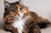 Domestic Long Hair Cat. Close-up Of A Red Cat Looking At The Camera. A Beautiful Old Cat With Green, poster