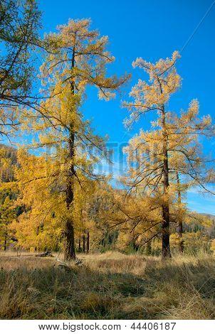 Yellow Larch