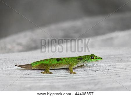 The Little Green Geckos. Seychelles