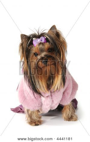 Yorkshire Terrier In Pink Fur Coat