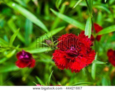 Telstar Carmine Rose In Nature