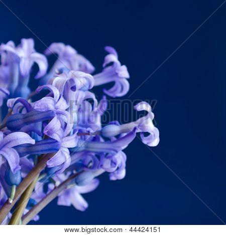 Spring Flowers - Hyacinths.