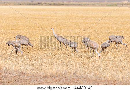 Sandhill Cranes Feeding In A Grain Field