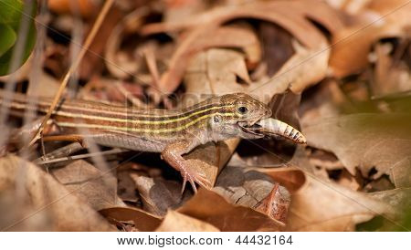 Six-lined Racerunner whiptail eating a grasshopper in underbrush