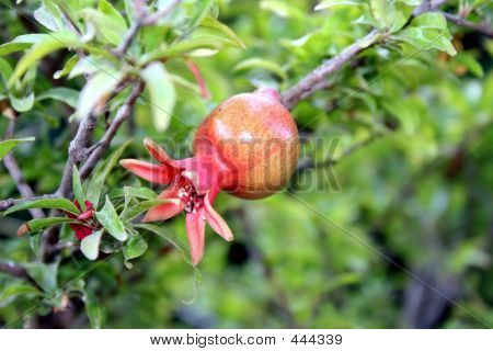 Young Pomegranate Tree In Israel