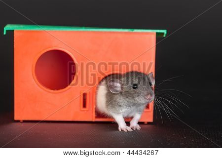 Rat In A Red House