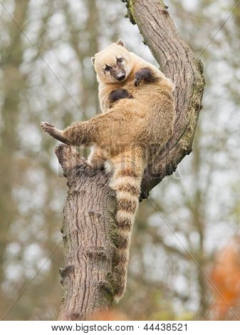 Coatimundi Scratching Himself
