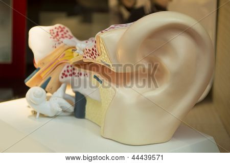 model of a human ear for medicine