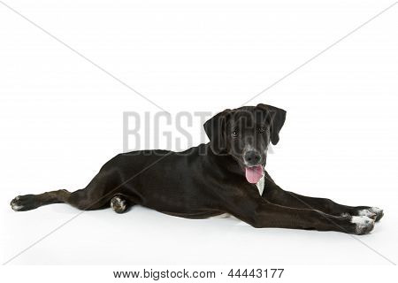 Black Labrador Puppy