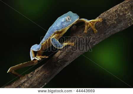 Tree frog, Cruziohyla or Phyllomedusa calcarifer, climbing branch tropical  Amazon rain forest. This tropical amphibian species lives in rainforest Colombia, Costa Rica, Ecuador, Nicaragua and Panama