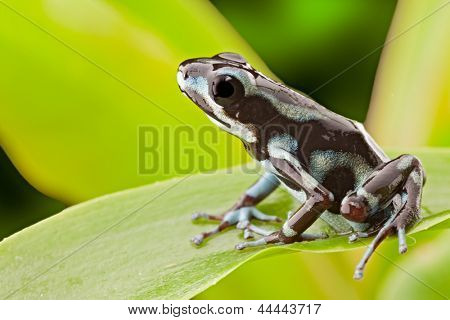 frog from tropical rain forest in Panama near Rio Uyama. Strawberry poison dart frog and small poisonous animal from the jungle.
