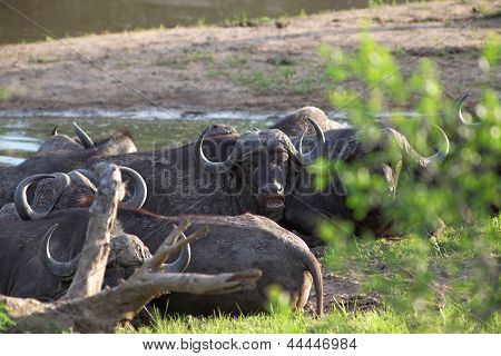 Herd Of Cape Buffalo, Syncerus Caffer