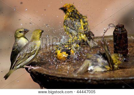 Wild Birds Splashing In A Bird Bath