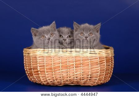 Scottish Kittens In The Basket