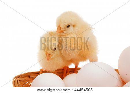 concurso vivo pintinho pouco sobre ovos brancos dentro ímpio cesto isolado sobre fundo branco