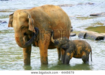 Elephants Family