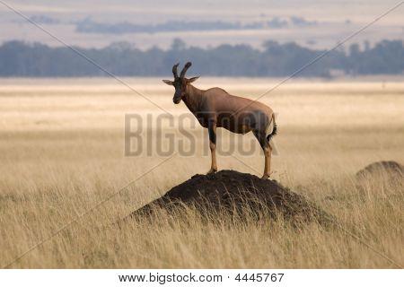 Tsessebe Antelope On Lookout For Predators