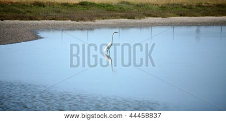 Die AKA große Reiher Ardea Alba oder Silberreiher, gemeinsame Egret, großer Egret oder manchmal verwirren