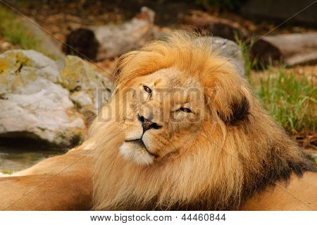 closeup of a African Lion resting
