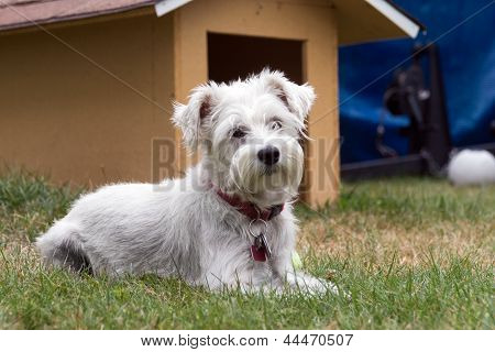 schnauzer dog outdoor