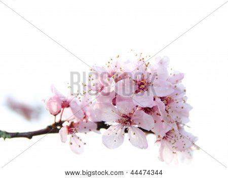 Blooming sakura tree branch in Redmond - 20115