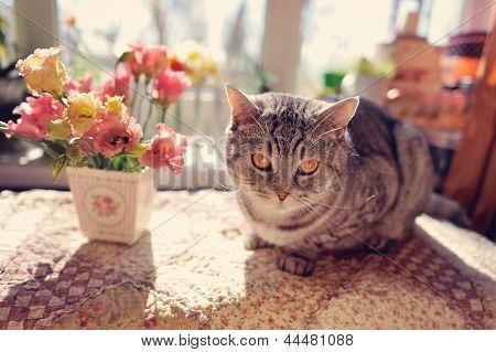 British breed of cat
