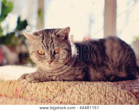 British breed of cat