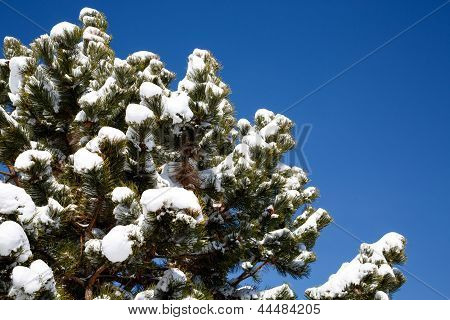 Snow Capped Pine Tree