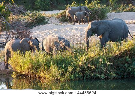 Herd Of Elephant Play Next To River