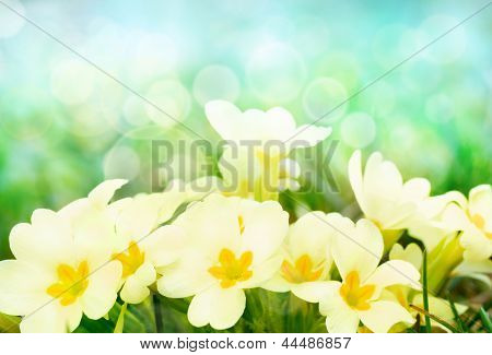 Fresh Primrose Flowers In The Spring Meadow