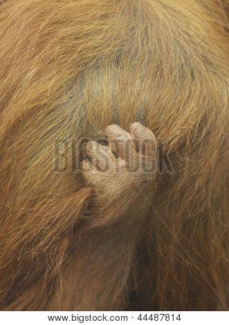 Baby Orangutang Hand