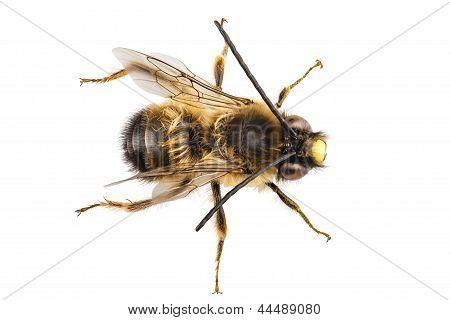Bee Species Eucera Longicornis Common Name Solitary Miner Bee