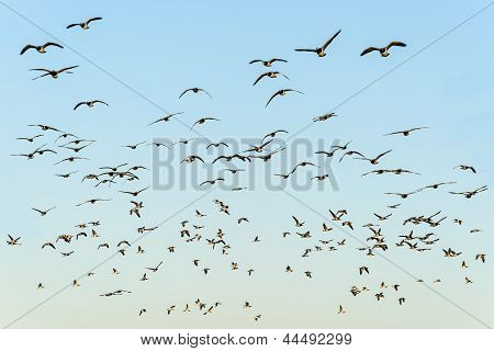 Flock Of Black-headed Gulls