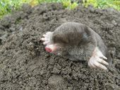 foto of mole  - Common black mole that is rarely seen - JPG