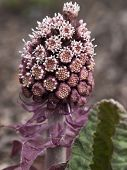 stock photo of butterbur  - Bog rhubarb just awakening from winter sleep - JPG