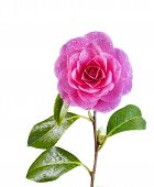 Blooming Pink Camellia Flower Isolated On White