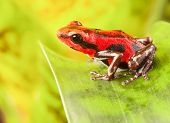 stock photo of poison frog frog  - red strawberry poison dart frog tropical amphibian from jungle of Panama - JPG