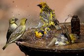 stock photo of water bird  - Small group of wild birds splashing in a bird bath spraying water in all directions - JPG