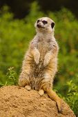 Meerkat on the lookout for predators