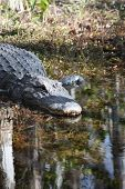 picture of crocodilian  - a picture of an american alligator in the swamp - JPG