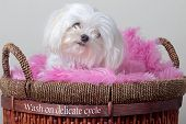 stock photo of maltese  - Fluffy white Maltese sitting on a pink blanket in a laundry basket - JPG