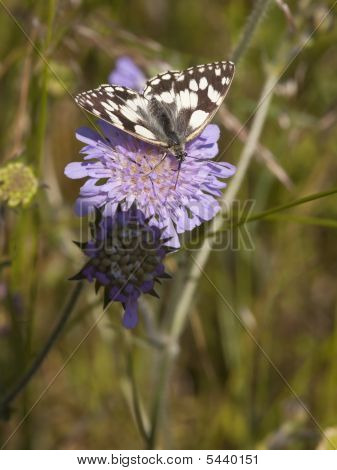 Marbled White Butterfly On Scabious Flower