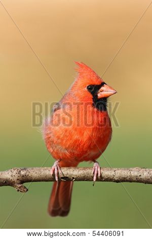 Male Cardinal In A Tree With Blank Space