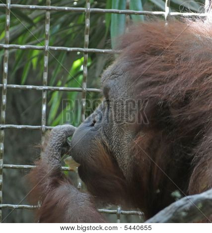 Orangutan Male Having Lunch
