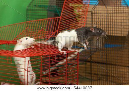 Domestic Rats