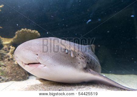 Shark Resting On The Sea Bottom