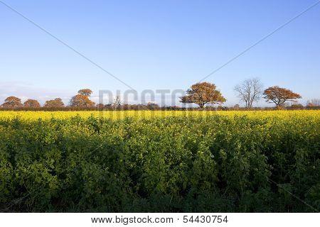 Mustard And Oaks