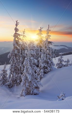 Christmas trees in the snow in snowdrift. Winter landscape with a beautiful sunset. Forest in a mountain valley. Carpathians, Ukraine, Europe